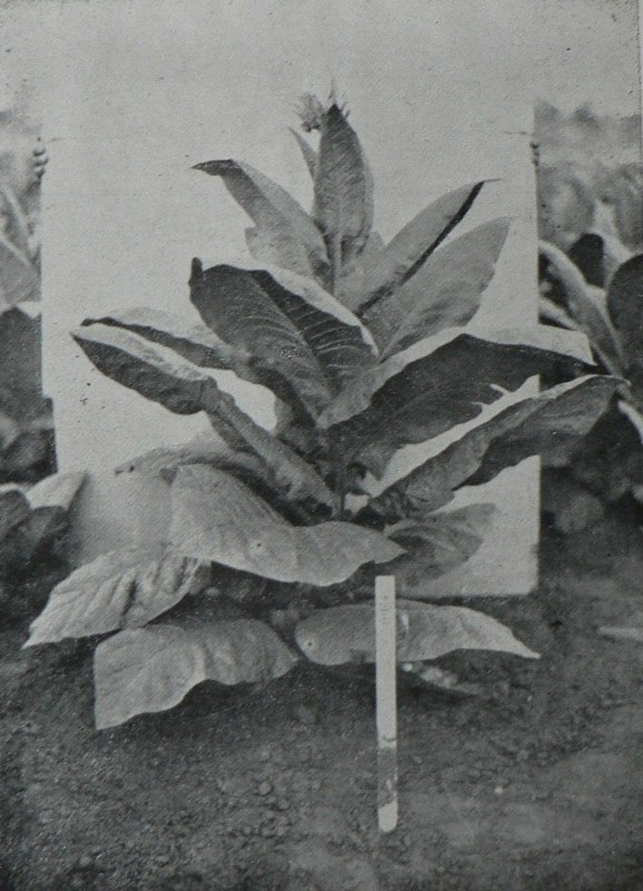 Debreceni dohány